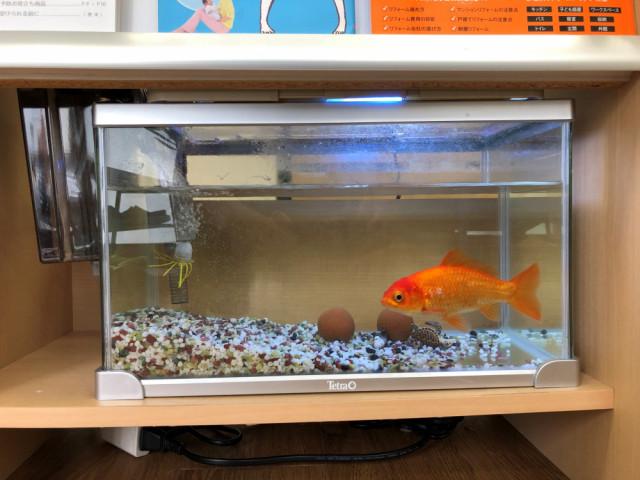 院長の癒やしになっている金魚