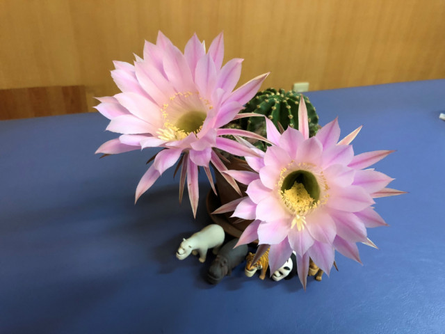サボテンの花、開花!!